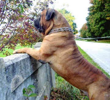 BULLMASTIFF - A, E These dogs weigh between 110 and 130 pounds.