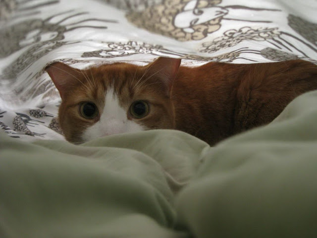 Funny cat pictures part 14, cat under bedsheet