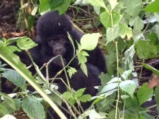 Gorillageluk Oeganda De tropische wouden van Centraal-Afrika vormen idealiter gesproken een uitermate geschikte habitat voor het gorillageluk van de berggorilla's van Oeganda.