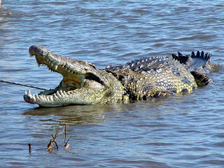 Crocodile World Blogger: Facts And Information-The Nile Crocodile