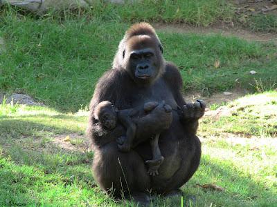 Foto de Gorilas