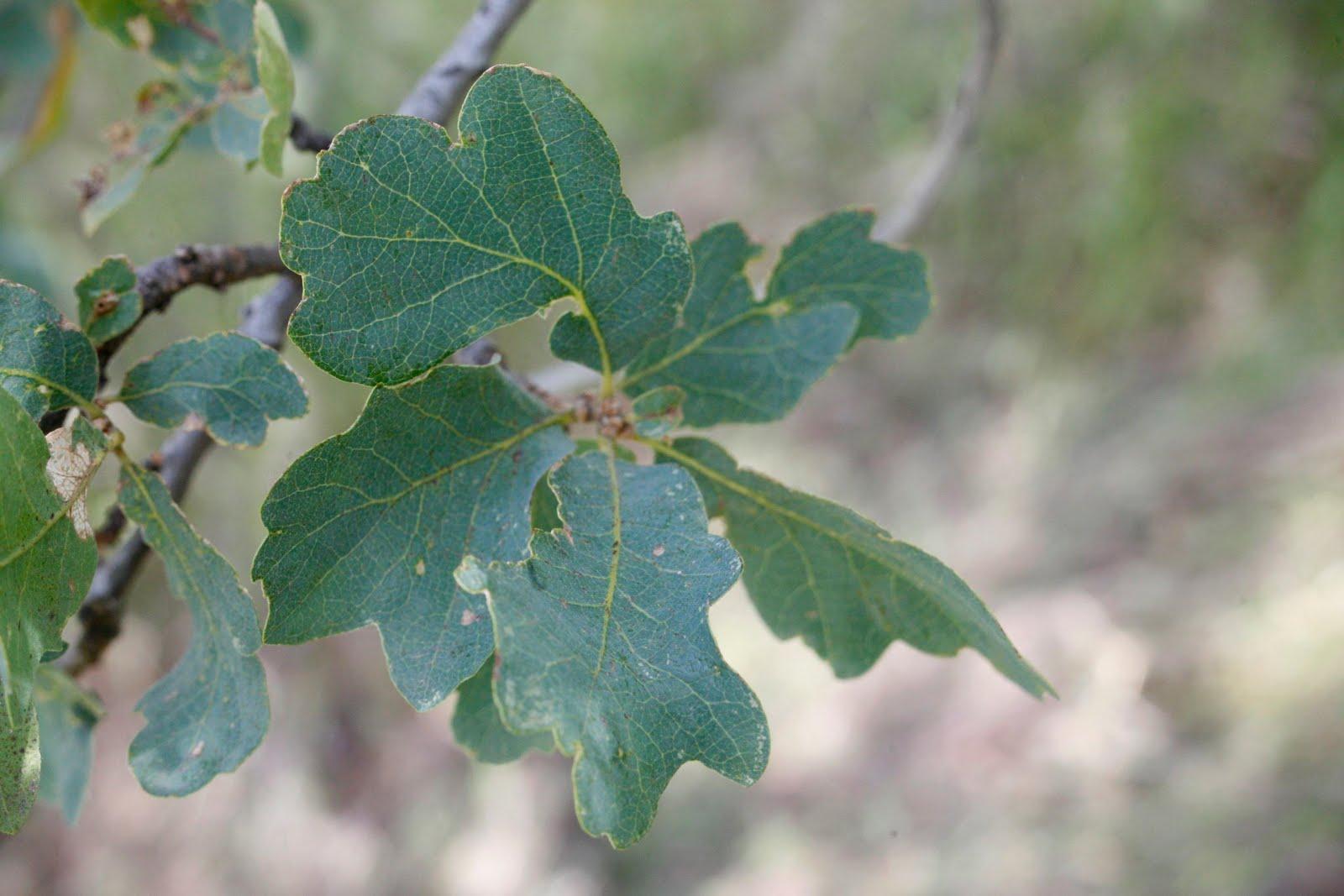 Oak tree leaf identification imgkid the image