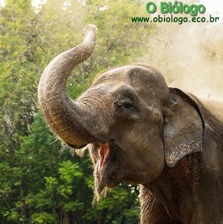 elefante-asiatico-indiano
