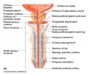 gennemsnit penis længde