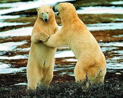 osos declaracion de amor