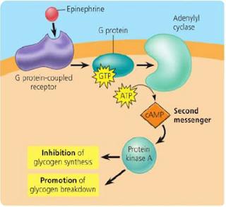 steroid hormone receptor complex