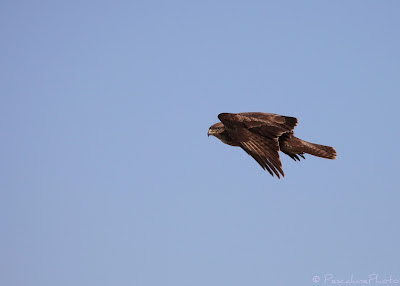 Buse variable (Buteo buteo), Common buzzard