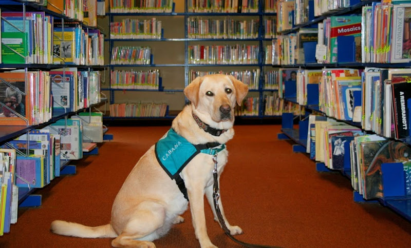 cabana wearing her teal therapy jacket, sitting between the aisles of books in the library