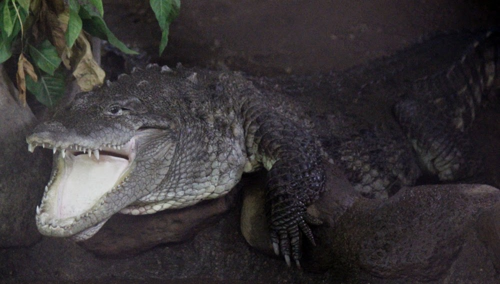 Crocodile at Katraj Zoo