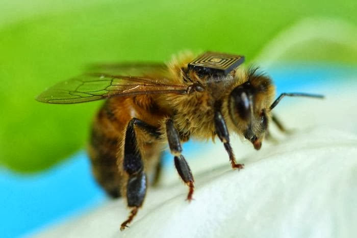 CSIRO, University of Tasmania scientists fit tiny sensors onto honey bees to study behaviour and population decline