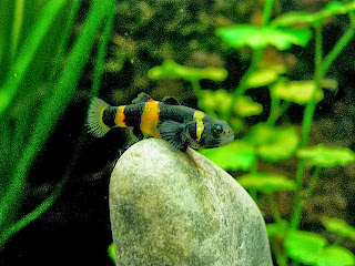 bumblebee goby fish