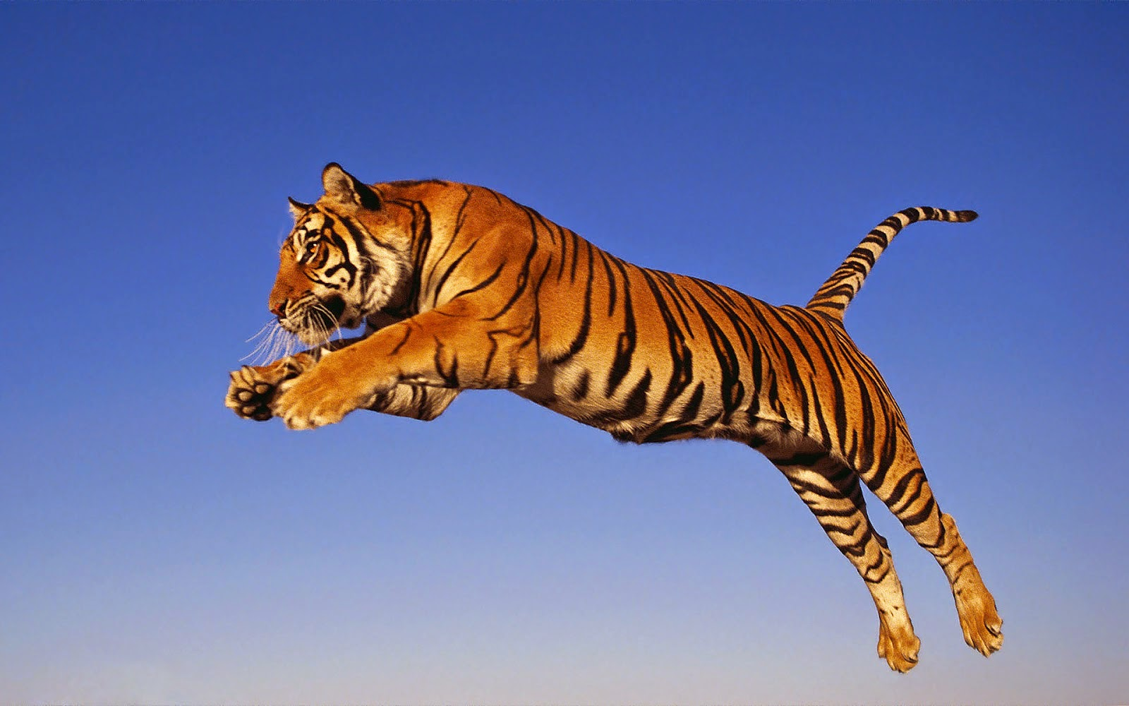 Jumping tiger photo