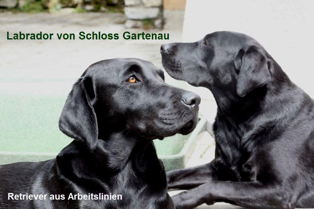 Labrador von Schloss Gartenau