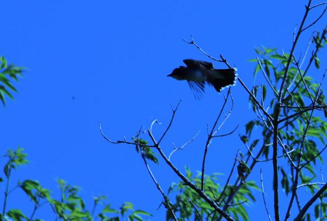 eastern kingbird flies away