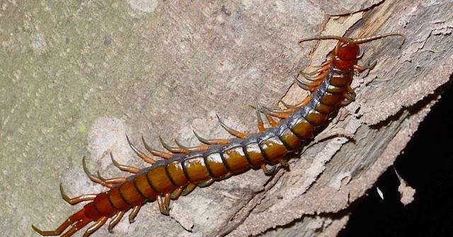 tHE tiDE cHAsER: Centipedes (Phylum Arthropoda: Class ...