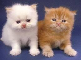 gambar anak kucing persia