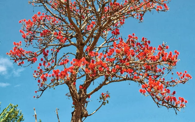 Coast Coral Tree in Tanzania