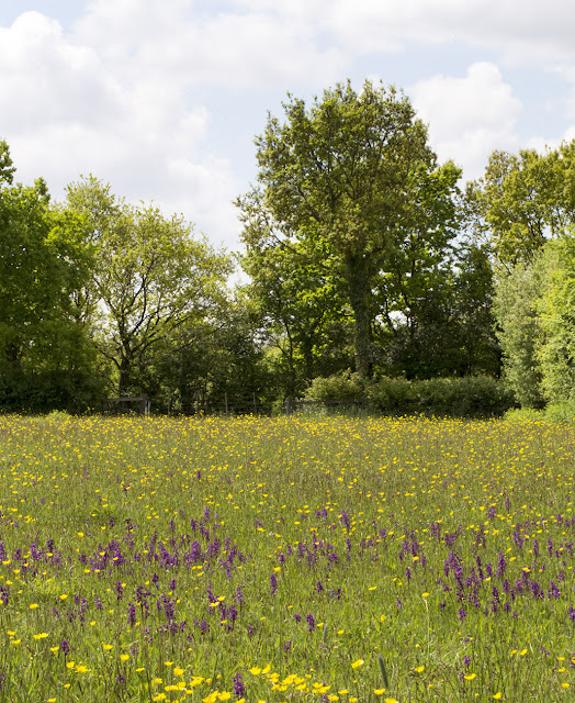 Field full of Green-winged Orchids, Anacamptis (Orchis) morio, and Meadow Buttercups, Ranunculus acris, with a Wild Service Tree, Sorbus torminalis, in the distance.   Marden Meadow with the Orpington Field Club, 25 May 2013.