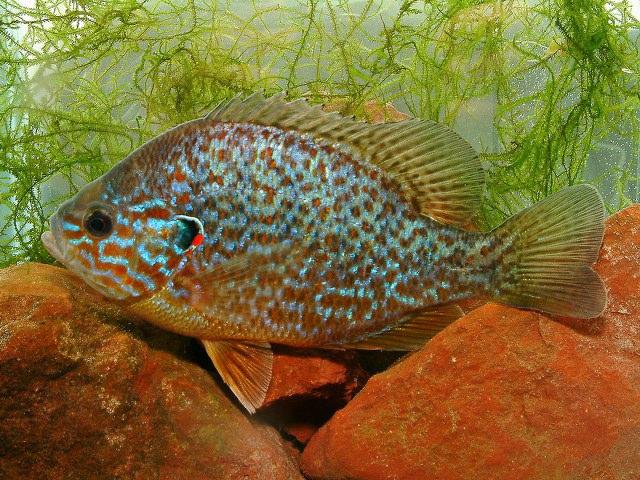 Peces y plantas ornamentales lepomis gibbosus perca sol for Cria de peces ornamentales