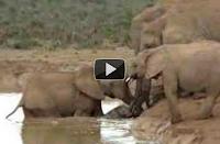 Elefantes rescatan a una de sus crias