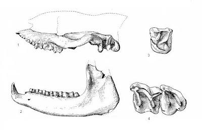 fragmento de craneo de Eggysodon