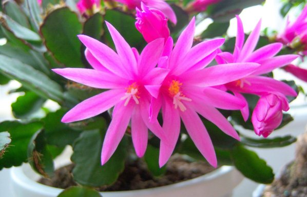 Wiese acres holiday cactus