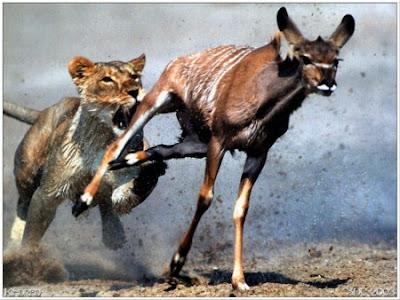 Lion Hunting Pics