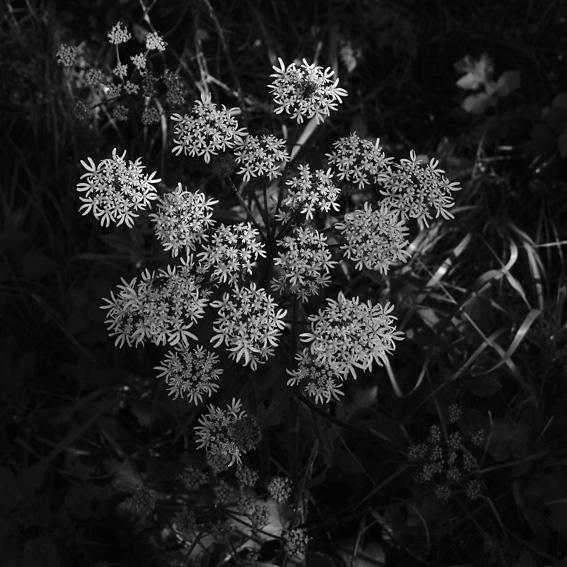 photo fleur de plante berce, Heracleum sphondylium, Common Hogweed, © dominique houcmant