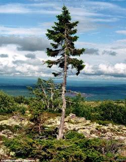 Самое старое дерево в мире возрастом 9 500 лет