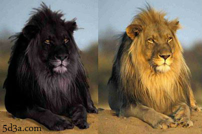 Black-Lion-optical-illusion