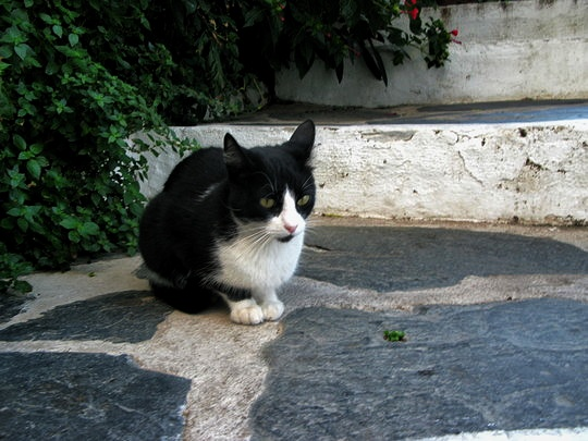 Cat from Cadaqués, Spain