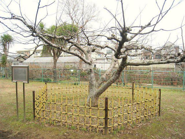 شجرة اسحق نيوتن التي سقطت منها التفاحة و اكتشف الجاذبية بعدها