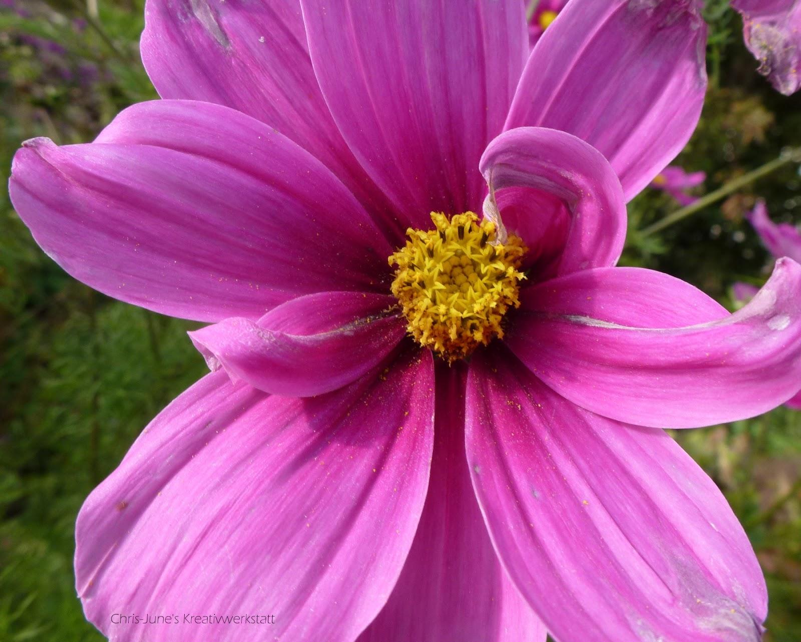 Asteraceae pink