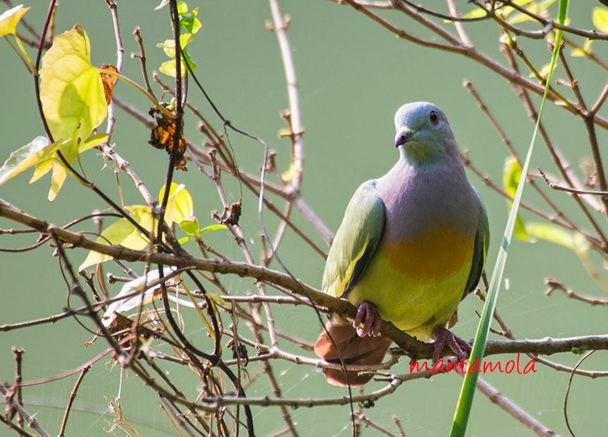 Pink Necked Green Pigeon ( Treron vernans )