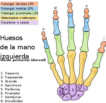 Dibujo de los huesos de la mano izquierda (Vista dorsal)