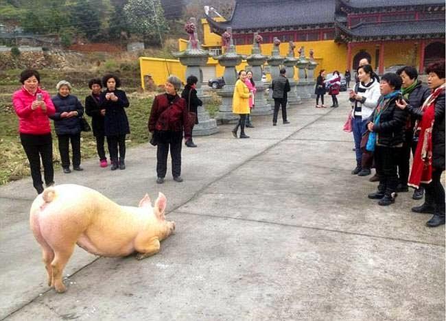 cerdo arrodilla templo budista