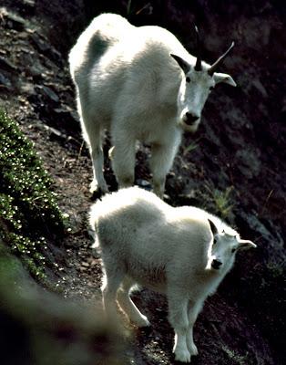 Funny Mountain Goat