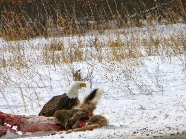 bald eagle scavenging deer