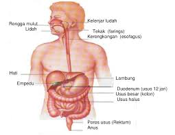 organ-organ pernapasan manusia