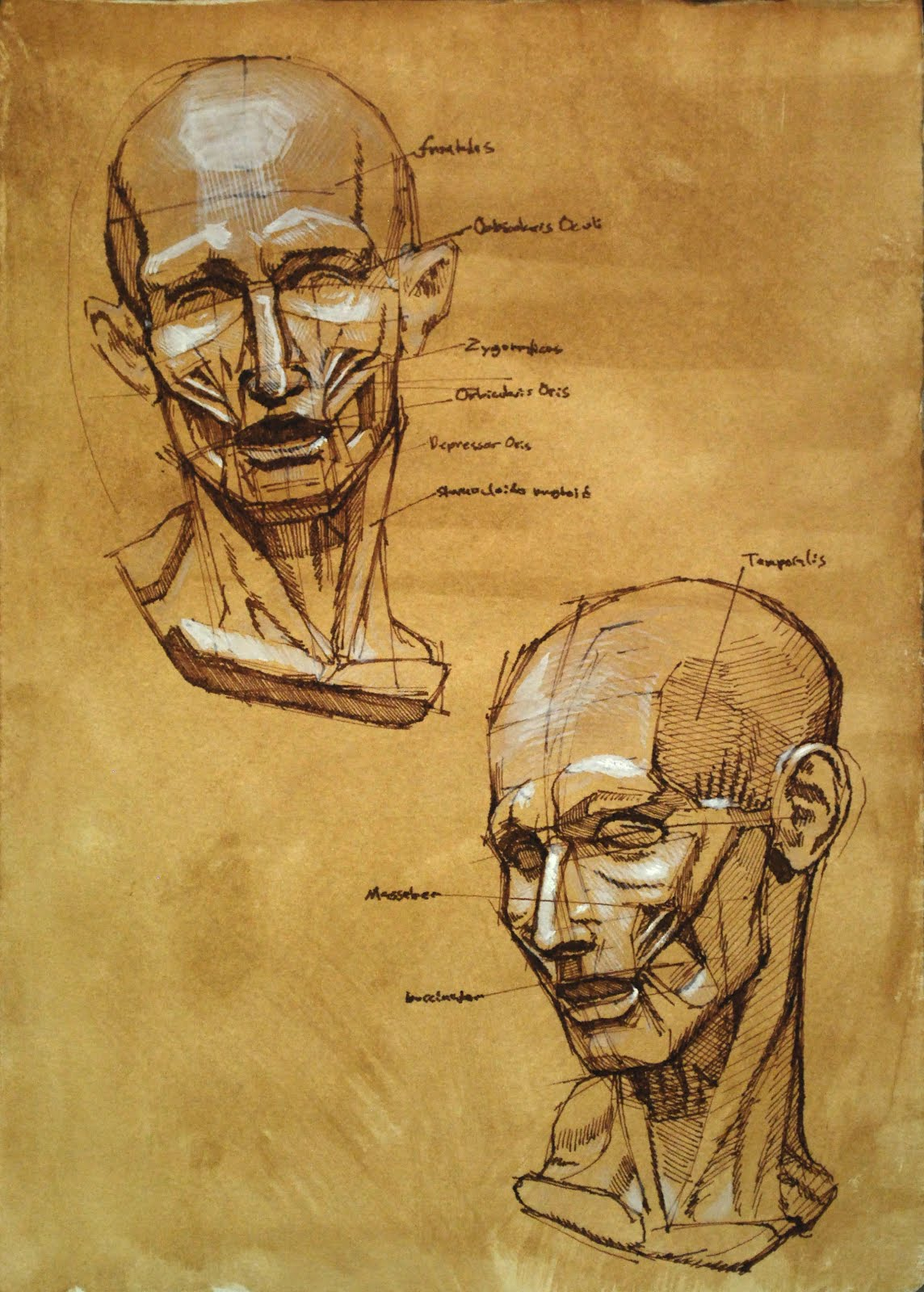 To Mastery Or Bust: Anatomy studies: Facial muscles