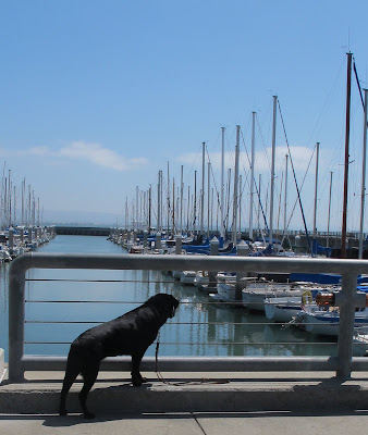 black Lab on pier with boats