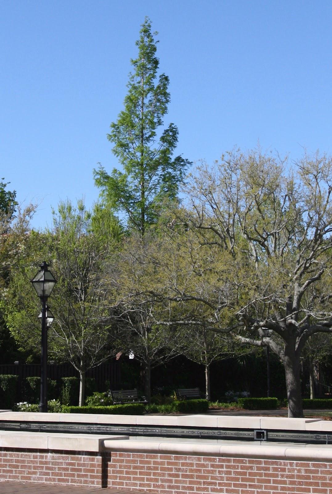 dawn redwood metasequoia glyptostroboides usda hardiness zones 5 11