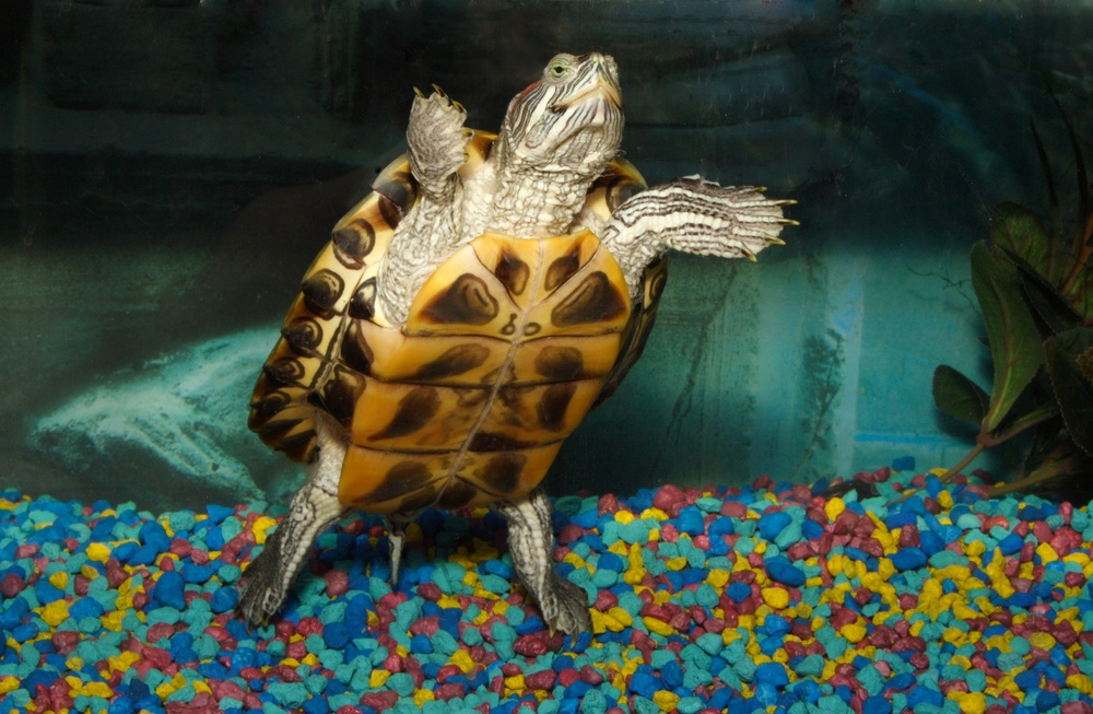 Funny Terrapin Pictures/Images 2012 - Pets Cute and Docile