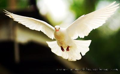 Beternak Burung Merpati