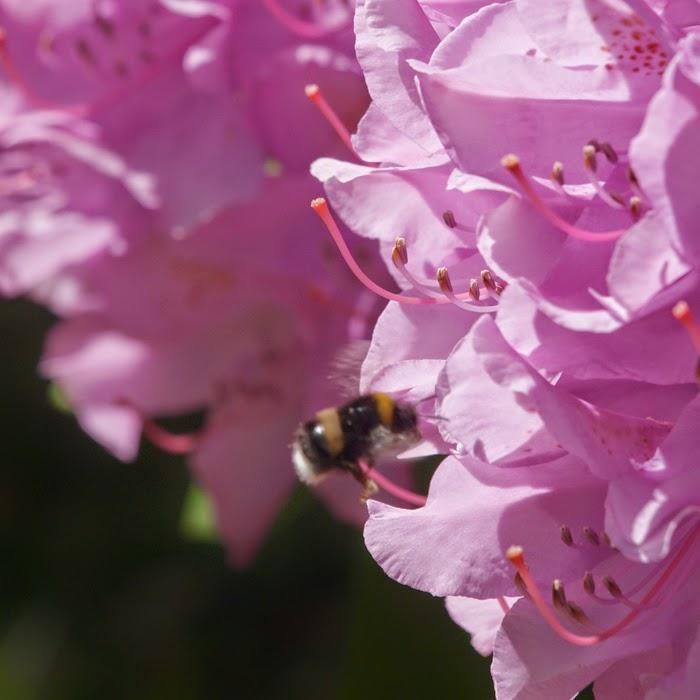 Humlebi i blomst