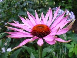Flor de la equinácea