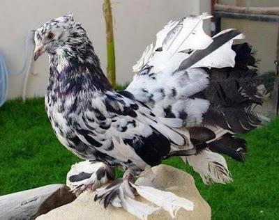 White Fantail