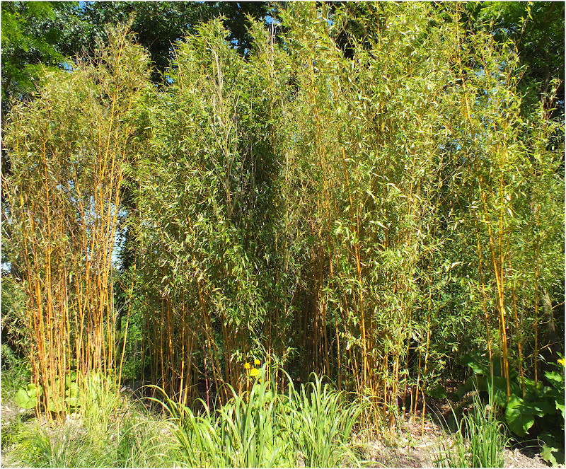bambus kamelien yuccas bambus im arboretum ellerhoop. Black Bedroom Furniture Sets. Home Design Ideas