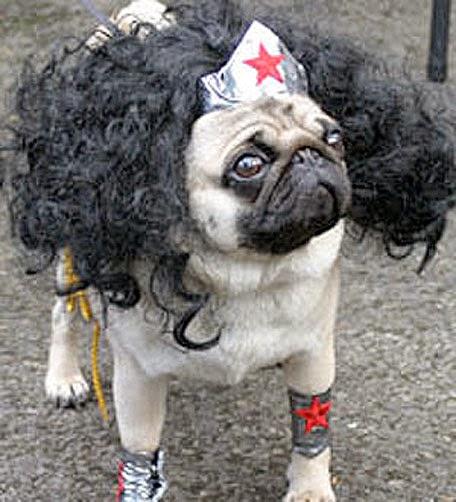 Pug as Wonder Woman Halloween Csotume