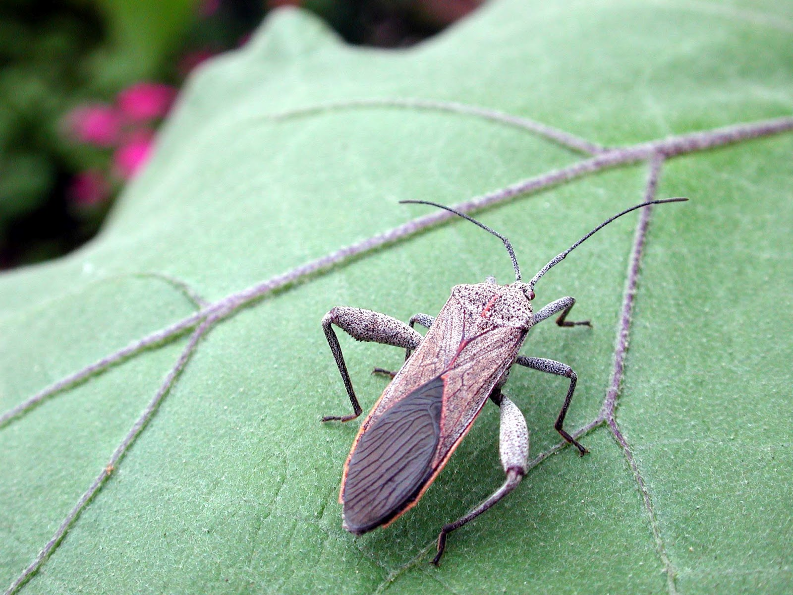 No Thighmaster Needed by This Bug   Hawaii Horticulture